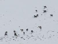 View the album Woodland Caribou
